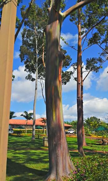 ドールプランテーションの油絵のような木