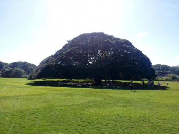 いわゆる日立の樹。この木なんの木。 向こうではモンキーポッド 日本ではネムノキ