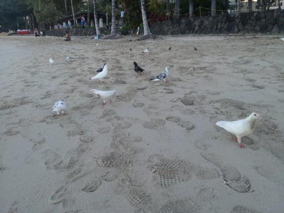 ワイキキビーチはハトだらけ