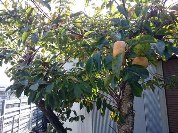 次郎柿の木
