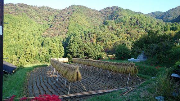 品種はヒノヒカリ 西日本ではメジャーな品種